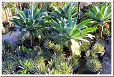Agave attenuata in an area with overhead protection