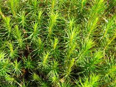 Tn Tree Nurseries - Ground Fern Moss, $34.99 (http://www.tnnursery.net/ground-fern-moss/) 5 sq ft