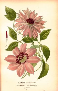 Antique botanical prints meticulously restored from century illustrations. Botanical Art at its absolute finest. Illustration Botanique, Plant Illustration, Botanical Illustration, Vintage Botanical Prints, Botanical Drawings, Vintage Art, Botanical Flowers, Botanical Art, Pink Flowers