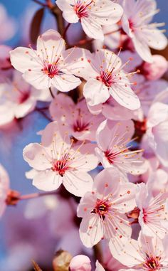 It would be cool to incorporate some sort of cherry blossom thing into the play. Ce serait cool d'incorporer une sorte de fleur de cerisier dans la pièce. Wallpaper Iphone5, Frühling Wallpaper, Love Wallpaper Backgrounds, Spring Wallpaper, Wallpaper Gallery, Pretty Wallpapers, Cellphone Wallpaper, Flower Backgrounds, Iphone Backgrounds