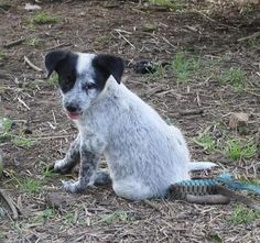 Check out Puppy Ursula's profile on AllPaws.com and help her get adopted! Puppy Ursula is an adorable Dog that needs a new home. https://www.allpaws.com/adopt-a-dog/australian-cattle-dog-blue-heeler/1317189?social_ref=pinterest