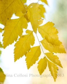 Flower Photography   Bright Yellow Leaves Fall by NinaCollosi, $18.50