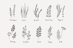 herbe culinaire et logo # menthe # Basilic # sauge # romarin - - Herb Tattoo, Plant Tattoo, Tattoo Hand, Plant Sketches, Flower Sketches, Wildflower Tattoo, Wildflower Drawing, Floral Drawing, Botanical Line Drawing