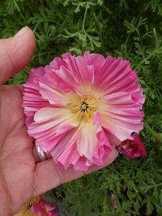 Cal Poppy 'Rose Chiffon' ©Annie's Annuals & Perennials