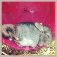 Sleepy chinchilla.
