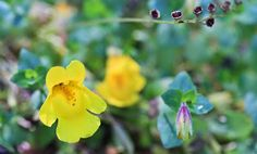 Erythranthe guttata (Seep Monkey-Flower) - Yellow Aster Butte, Tomyhoi Lake Hike