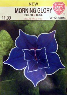Morning Glory - Picotee Blue