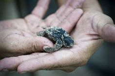 newly hatched sea turtle :)