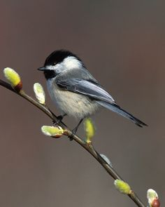 Chickadee Black Capped and Pussy Willow8x10 por NatureIsArt en Etsy