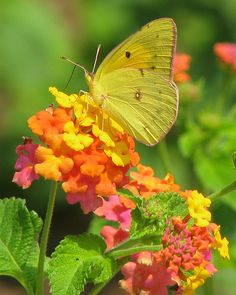 Orange Sulphur Butterfly on Lantana