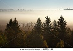 Stock Photo: Trees in morning fog. Silhouettes of big trees next to the foggy swamp just after the sunrise.
