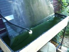 Growing Spirulina at Home. Blue green algae for fish and people too!