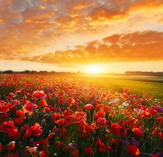 """""""Bright new day"""" #poppy_field in summer countryside at sunrise"""