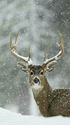 Beautiful winter Whitetail buck.