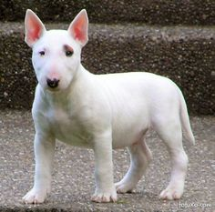 The Bull Terrier is the gladiator of the canine race, full of fire and courageous. Description from irishdogs.ie. I searched for this on bing.com/images