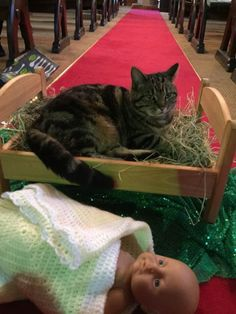 At My Friend's Church, The Church Cat Has Evicted The Baby Jesus From The Manger