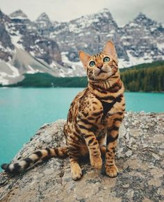 """""""Suki, a Bengal cat from Canada who unlike most lazy felines, isn't a stranger to exploring new & exciting lands. The Instagram star, who has nearly 180,000 followers, goes about the Canadian countryside with her human, exploring the mountains & streams. Unlike many cats, Suki isn't afraid of water."""" Go to http://metro.co.uk/2017/09/10/meet-suki-the-bengal-cat-whos-living-out-her-best-forest-dreams-6916164/ for more."""