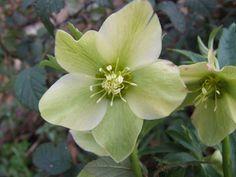Green helaborus: October through April  $$$