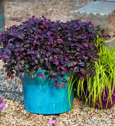 Easy to grow, low maintenance dwarf shrub holds rich purple foliage year-round. Purple Pixie is great as a border edger, in mass Dwarf Shrubs, Dwarf Plants, Low Maintenance Landscaping, Low Maintenance Garden, Garden Shrubs, Garden Plants, Roses Garden, Herb Garden, House Plants