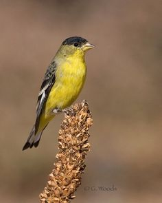 Lesser Goldfinch.  These are what we have in our garden.