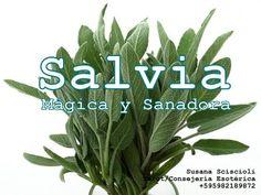 Salvia Mágica y Sanadora #Lee mi artículo! #CosasDeBruja #Bruja #Manosquesanan #Magiaencasa https://www.facebook.com/espiritualidadytarot/photos/a.716567315150887.1073741828.716563385151280/731376920336593/?type=3
