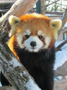 Red Panda at Henry Villas Zoo in Madison, WI.