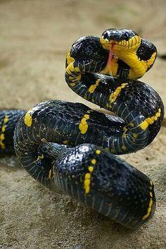 Boiga dendrophila melatona,or Mangrove cat snake is mildly poisonous Nature Animals, Animals And Pets, Cute Animals, Beautiful Snakes, Animals Beautiful, Reptiles And Amphibians, Mammals, Anaconda Verde, Cool Snakes
