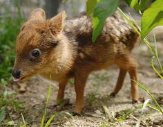 Desde Chile el pudú, ciervo más chico del mundo!