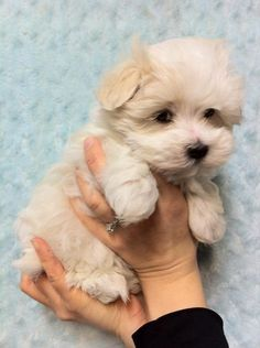 Havamalt- Havanese and Maltese mix. How adorable!