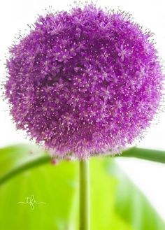 Growing Alliums
