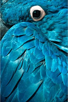 Beautiful blue macaw parrot #bird #animal