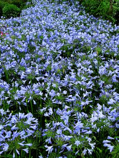 Blue Storm agapanthus in masses | Flickr - Photo Sharing So much beauty