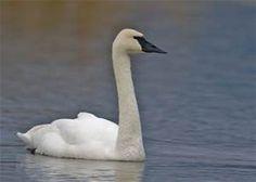 Trumpeter Swan - Bing Images