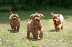 Fox Red Labrador Retriever Pup