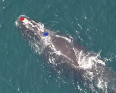 deepsense.io using neural networks to recognise endangered whales
