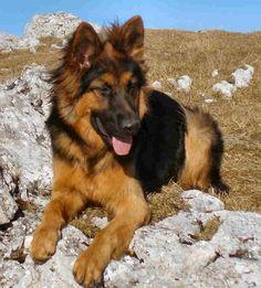 gorgeous plush coat german shepherd