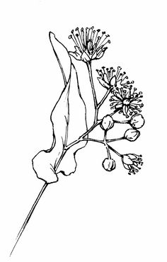 linden blossom drawings - Google Search