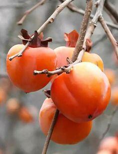 Free Image on Pixabay - Khaki, Rosewood, Fruit, Autumn - Obst Fruit Plants, Fruit Garden, Fruit Trees, Fruit And Veg, Fruits And Vegetables, Free Fruit, Photo Fruit, Persimmon Fruit, Persimmon Pudding