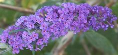 Twilight Butterfly Bush with its dense foliage and prolific bloom is one of the best for hedges. It is one of six butterfly bushes on sale during the June sale.