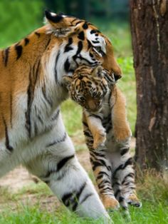 Tiger moms will carry their cubs before the cubs can ...