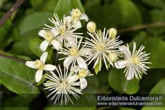 Clematis vitalba | Flickr: Intercambio de fotos