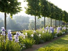 Pleached hedge and iris garden by Jinny blom
