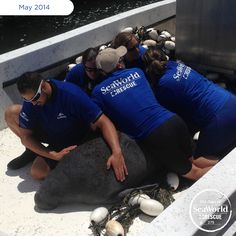 Rescuers noticed this manatee couldn't submerge, which led them to believe it may have been hit by a boat. They brought the manatee to SeaWorld to assess its health and give it the rehabilitative care it needed. #365DaysOfRescue