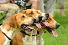 Looking for the perfect hunting dogs? Then check out this list of dog breeds for hunting and choose the right one for you! Best Dog Breeds, Best Dogs, English Coonhound, American Foxhound, Bear Hunting, Dog List, Black Lab Puppies, The Fox And The Hound, Family Dogs
