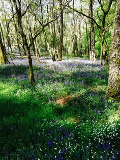 Coppiced woodland carpeted in bluebells in Scotland.