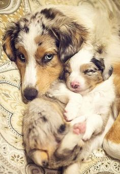 Aussie Mama and Pup ♥