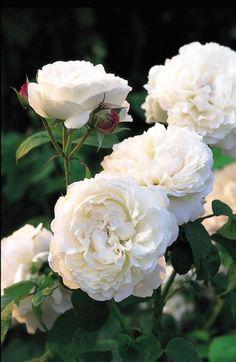 Rosa 'Winchester Cathedral'   Zon V. Kanske David Austins bästa vita ros. Vita blommor med gammaldags rosdoft med en antydan av honung och bittermandel. Helhetseffekten är praktfull med de många tätt fyllda blommorna och det kraftiga, buskiga växtsättet. Ibland kan man finna både vita och ljusrosa blommor samtidigt då den går tillbaka till den rosa moderformen 'Mary Rose'. Skuggtålig. 1.2 x 1.2 m. Austin, 1988.