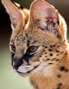 Serval Stare by Craig R. Jones