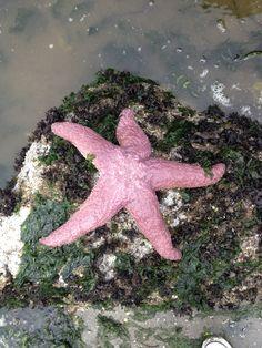 Pink starfish Vashon Island Washington