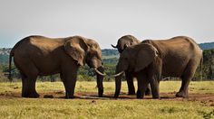 Stand Off - African Bush Elephant Stand Off - The African bush elephant is the larger of the two species of African elephant. Both it and the African forest elephant have in the past been classified as a single species.